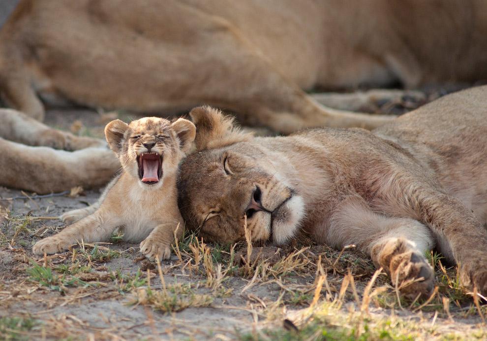 фото льва сесил